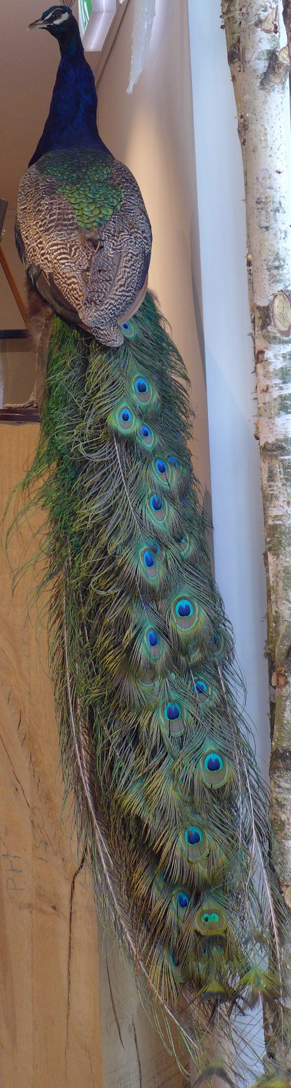 Opgezette pauw met lange staart vol blauwgroene ogen