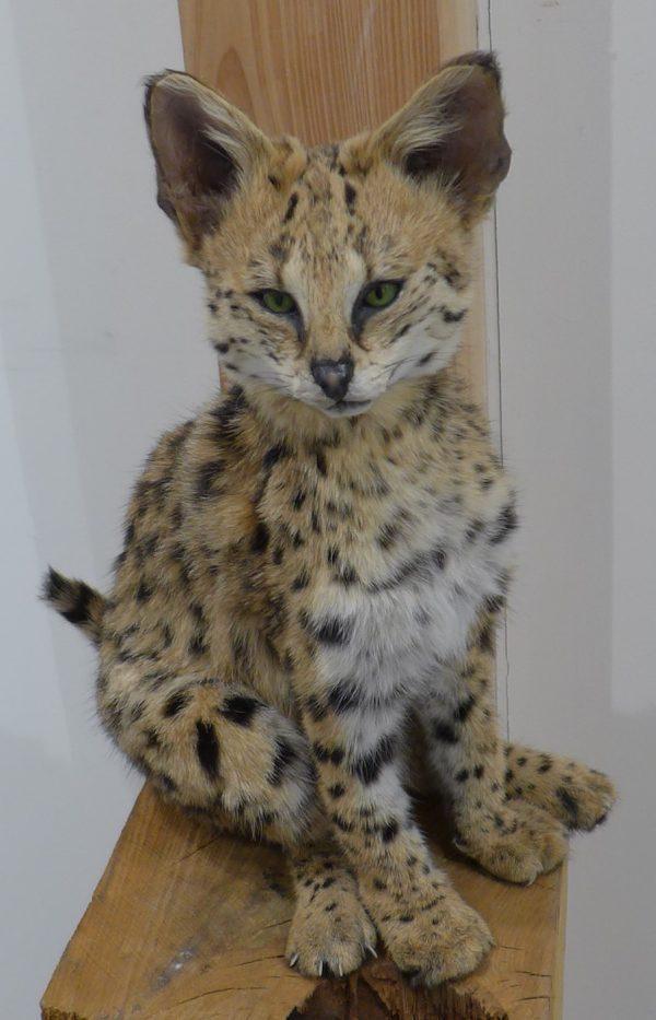 Jonge serval kat, opgezet dier